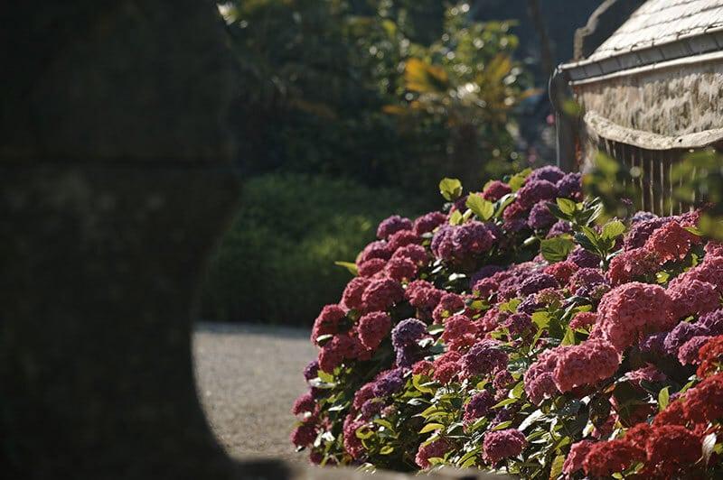 Jardin ferme de kerscuntec hortensias