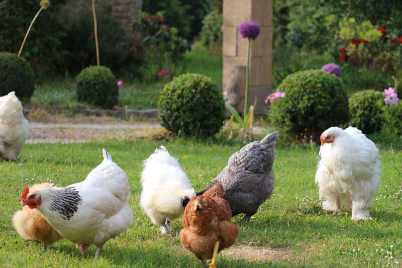 Jardin ferme de kerscuntec poules pondeuses rousses et grises poules de soie blanche