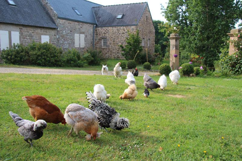 Jardin ferme de kerscuntec poules pondeuses et poules de soie